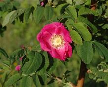 Rosa alpina, rosier des Alpes, Eglantier à fruits pendants